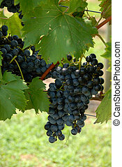 vineyard grapes - grapes growing at vineyard in northern...