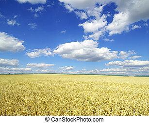 wheat field - Field of wheat over blue sky