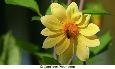 Fly on dahlia flower - Fly store honey dew from yellow...
