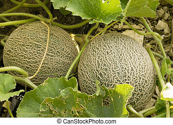 two cantaloupes - two immature cantaloupe still growing on...
