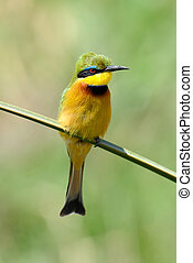 European bee-eater (Merops Apiaster) outdoor on branch