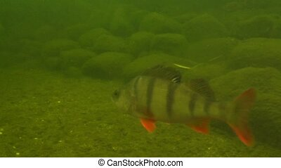 perch under water