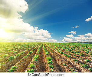 potato field under blue sky landscape