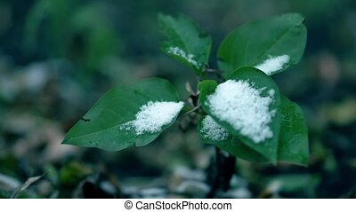 Early snow on the tree. Frosted green leaves. Close up video...