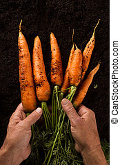 farmer hands holding carrots with green leaves