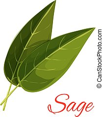 Sage herb leaves isolated icon - Sage leaves. Vector...
