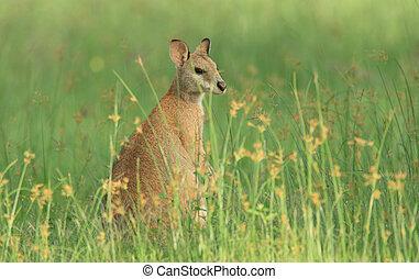 Female agile wallaby