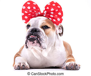 Cute English bulldog - Cute female of English bulldog on...