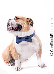 Bulldog with bow tie - English Bulldog with bow tie on white...
