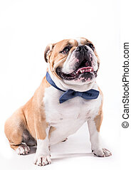 Bow tie on the bulldog - Portrait of English bulldog with...
