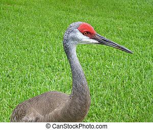 Sandhill crane head shot portrait on green grass background....