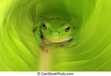 Green frog in new green leaf