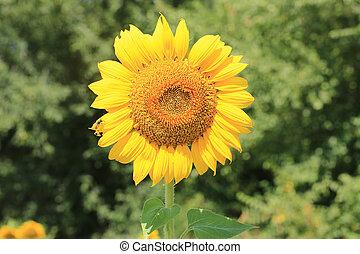 sunflower field spring summer