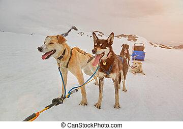 sledding dog take rest