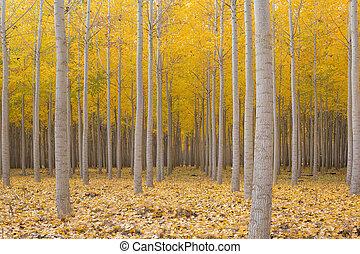 Poplar Tree Farm in Fall Season - Poplar Tree Farm at...