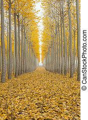 Poplar Tree Farm One Foggy Morning in Fall Season - Poplar...
