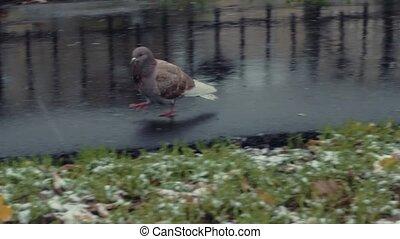 Pigeons walking side walk on winter background HD