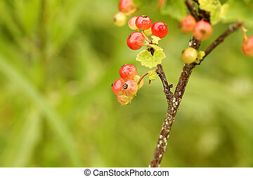 red currant bush in the garden of selective focus on a berry