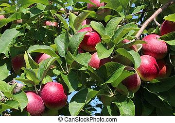 Apple Fruit Tree Background - Apple fruit tree background...