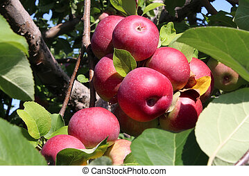 Apple Orchard Fruit - Apple orchard fruit cluster of red...