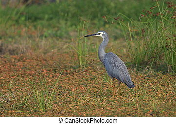 White-faced heron - A White-faced heron - Egrett...
