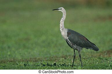White-neck Heron - A White-neck Heron (Ardea Pacifica)...