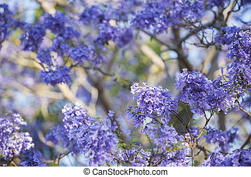 Colourful blooming jacaranda tree - Beautiful deep purple...