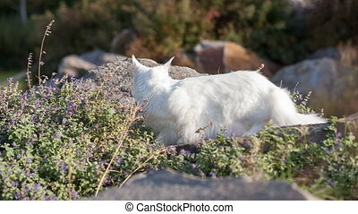 Maine Coon white cat in the wild - Maine Coon white seats...