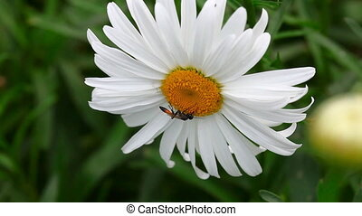 Wasp on the chamomile.