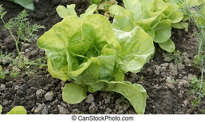 Green salad leaves - Green salad harvesting details