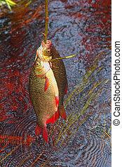 vecchio, rudd, modi, fish, Conservazione, fresco, 2,...