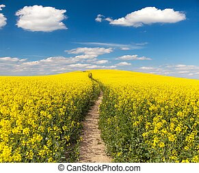 Field of rapeseed with rural road and beautiful cloud...