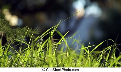 Long uncut green grass blowing in the wind dark background -...