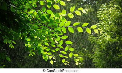 Green spring tree in rainy weather - Warm summer rain in...