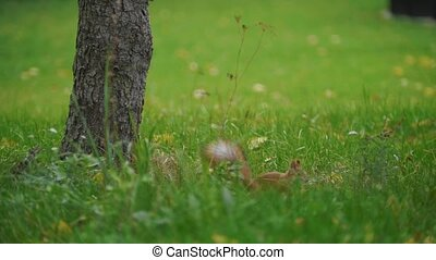 Squirrel running on the grass at autimn park