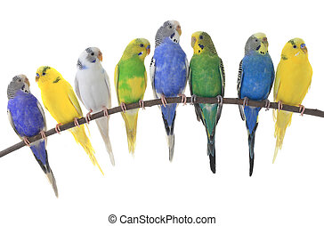budgerigars australian parakeets isolated on white...