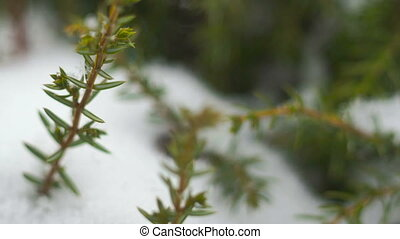 juniper in the snowfall closeup