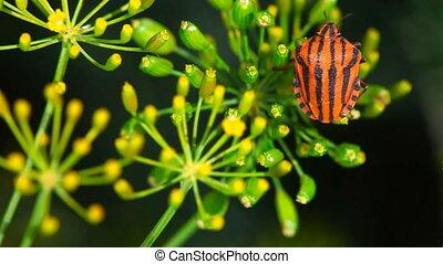 Bug. - Red bug on fennel.