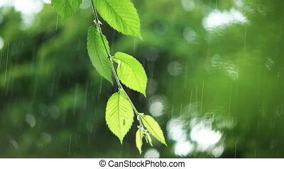 Green leaves in rainy weather - Warm summer rain in forest....