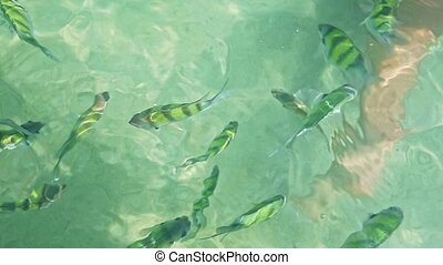 Closeup Flock of Stripy Fish in Transparent Azure Water -...