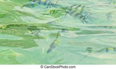 Closeup Stripy Fish in Transparent Azure Water with Gleams -...