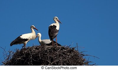 Three young white storks in nest against blue sky. - Three...
