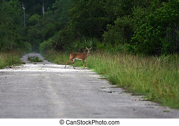 Deer Crossing - A deer crosses an old roadbed in Picayune...