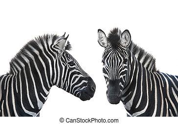 two portrait zebra - two portrait Zebra a on white...