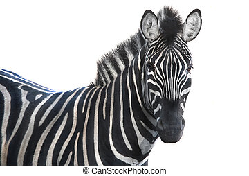 portrait zebra - portrait Zebra  a on white background