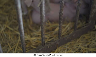 Pigs resting on the straw in a cage in 4K