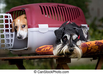 Two dogs with carrier - Two obedient dogs with plastic...
