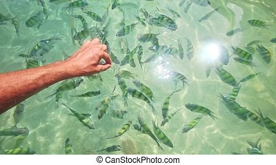 Closeup Man Feed Stripy Fish in Transparent Water with...