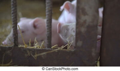 Little pigs resting on the straw in a cage in 4K.