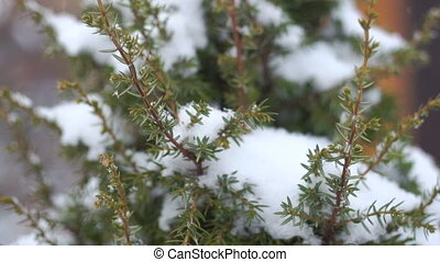 juniper in the snow